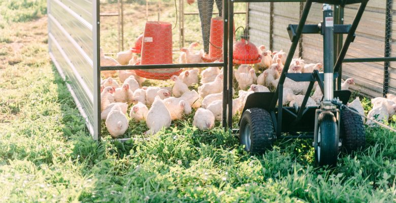 How are chickens raised at SCCC?